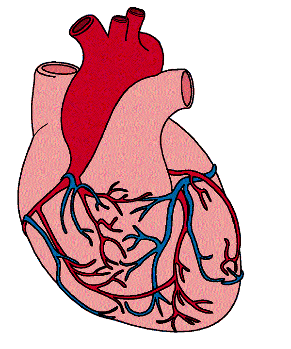 hearts real heart clipart rh clipart info real human heart clipart real human heart clipart