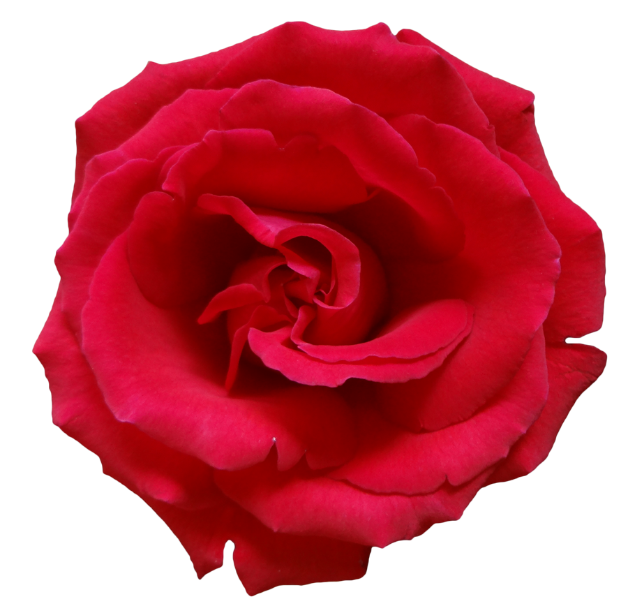 Rose png flower beautiful free izmirmasajfo