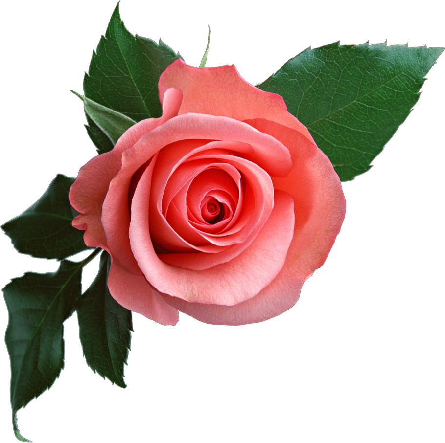 pink rose png flower clipart