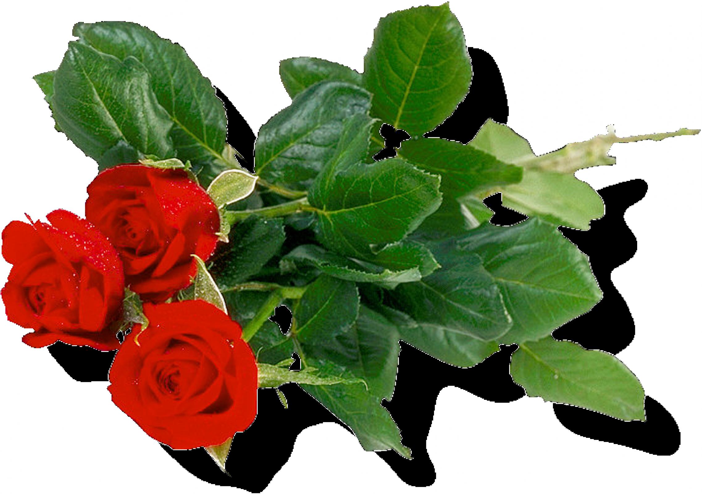 Rose Png Flower 657