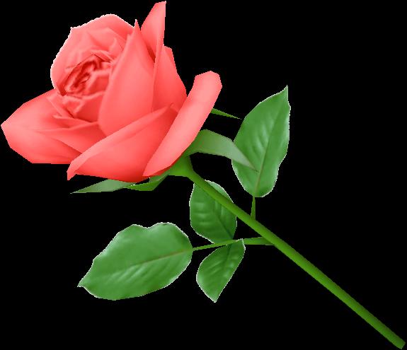 Rose Png Flower Pink Love