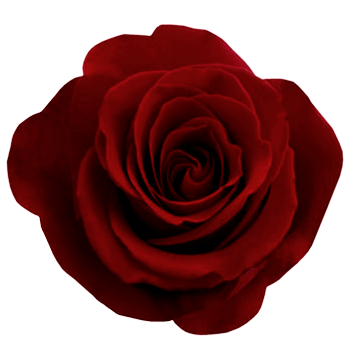 rose png flower transparent