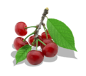 Twig Of Cherry PNG Clipart