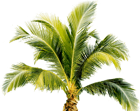 palm tree png image 2494