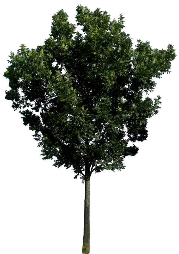 tree png 197