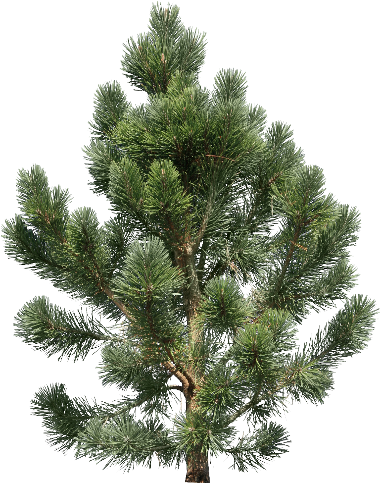 fir tree png transparent 2516