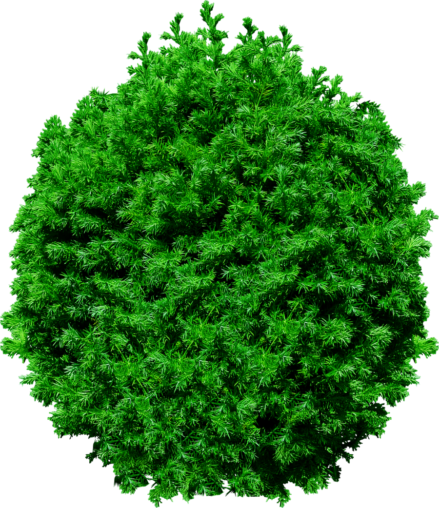 fir tree png transparent 2469