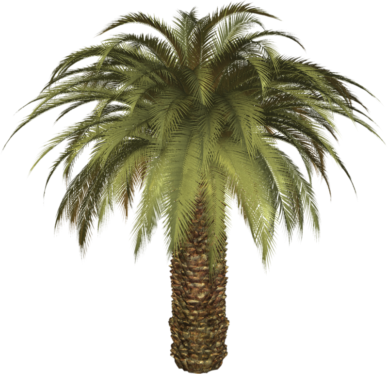palm tree png image 2490