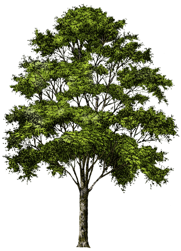 tree png 215