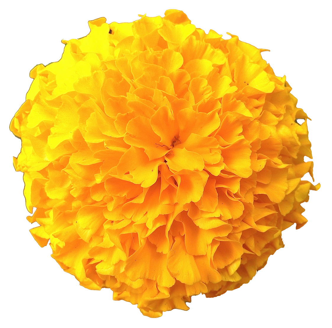 Marigold Flowers Png Pic