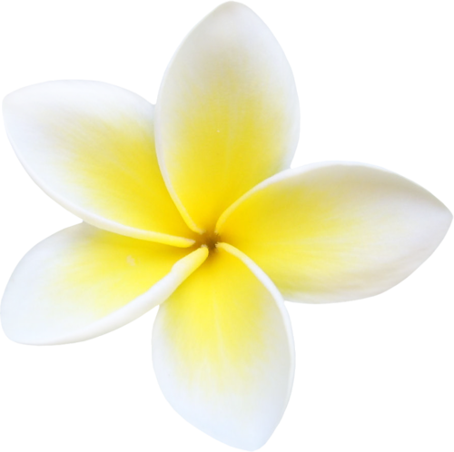 Plumeria Flowers Png File