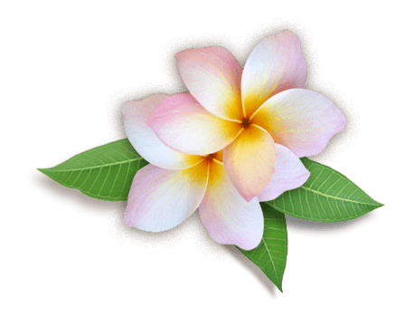 Plumeria Flowers Png Hd