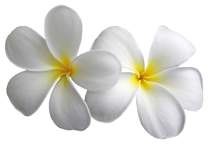 Plumeria Transparent Flowers Png