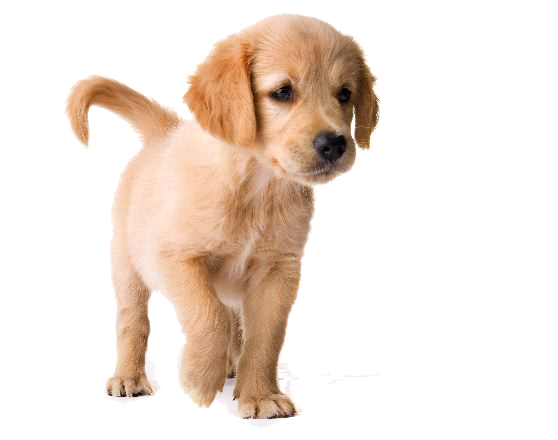 Golden Retriever Puppy PNG Image