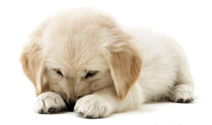 Golden Retriever Puppy PNG Clipart