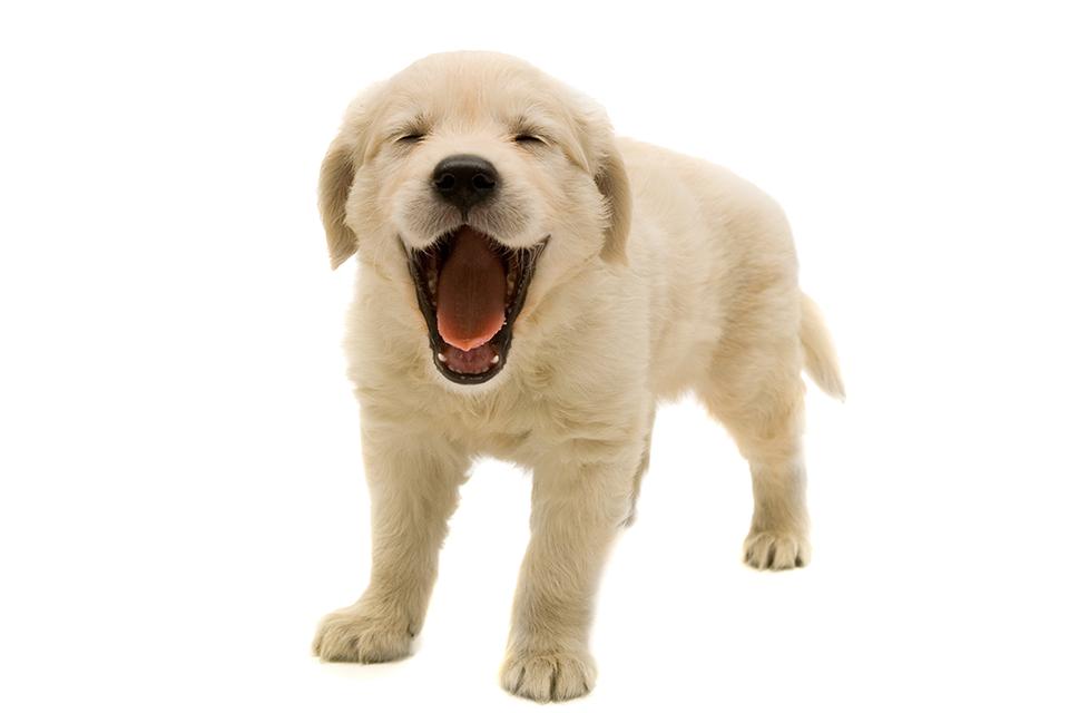 Golden Retriever The Best Dog