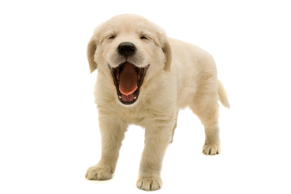 Golden Retriever Puppy PNG Transparent Image