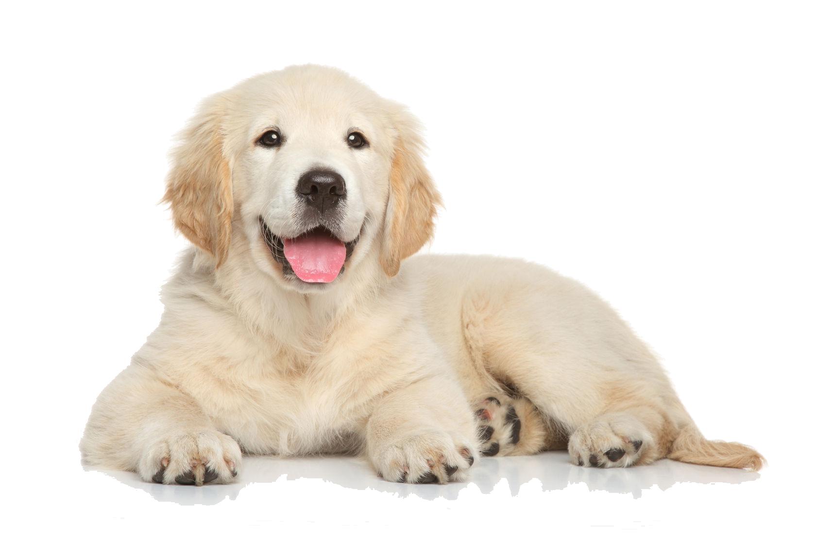 Golden Retriever Puppy PNG File