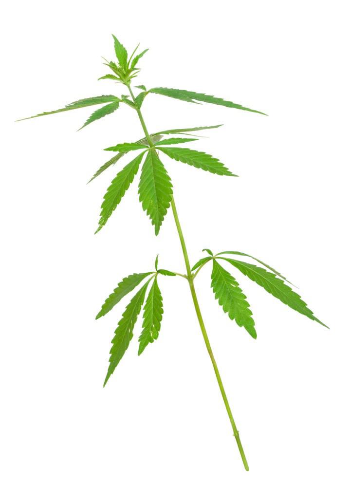 Cannabis Leaves Weed Png