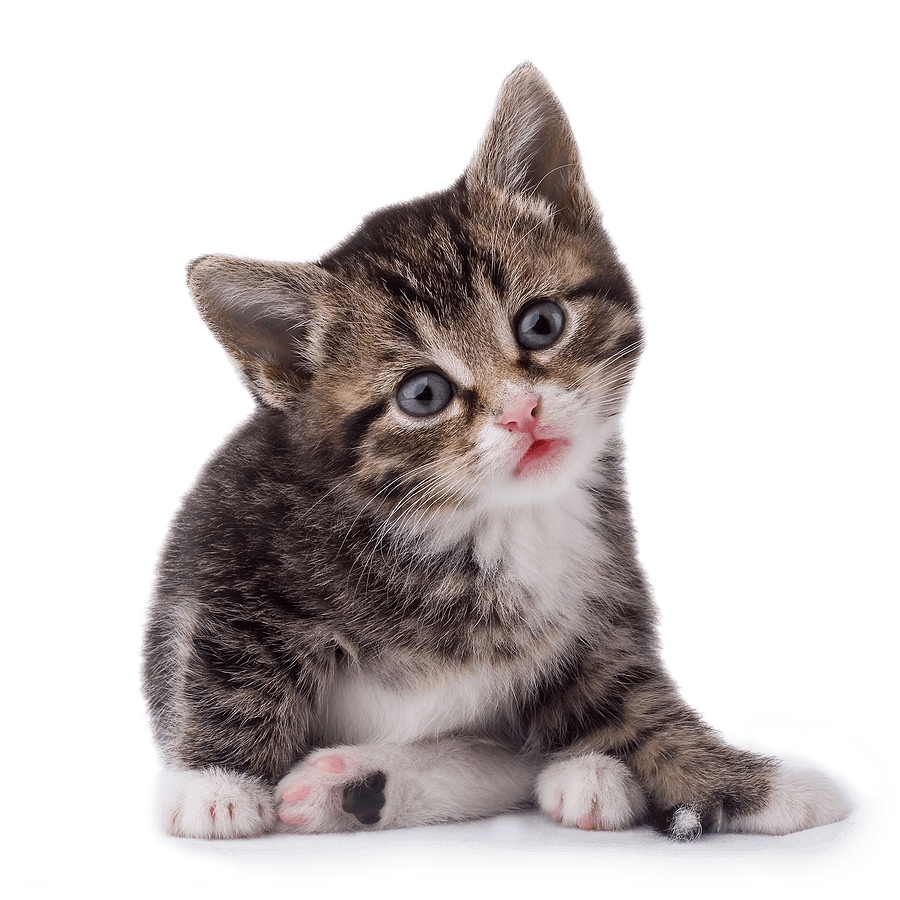 42 Cat Png Image Download Picture Kitten