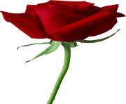rose png rouge