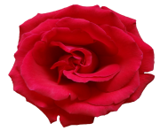 rose png flower beautiful free