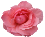 rose png flower free image