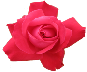 rose png flower pink