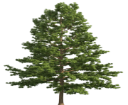 Pine Realistic Tree PNG Clip Art
