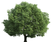 Realistic Green Tree PNG Clip Art