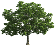 Tree Transparent PNG Clip Art