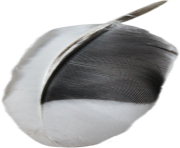 black and white feather png transparent