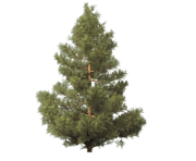 fir tree png transparent 2468