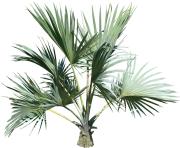 palm tree png image 2487