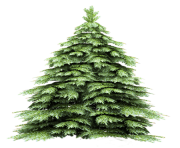fir tree png transparent 2475