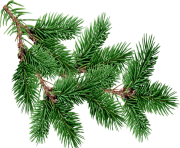 fir tree png transparent 2509
