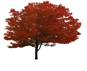 red tree png  image