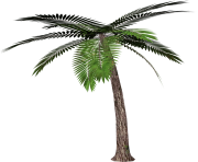 palm tree png image 2491