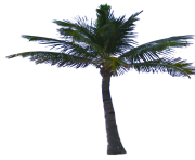 palm tree png image 2501