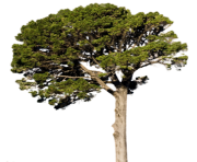 fir tree png transparent 2478