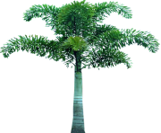 palm tree png image 2507