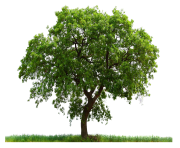 tree png 227