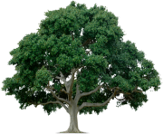 tree png 212