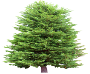 fir tree png transparent 2472