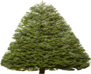 fir tree png transparent 2474