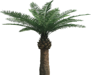 palm tree png image 2505