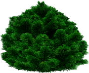 fir tree png transparent 2508