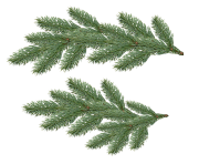 fir tree png transparent 3682