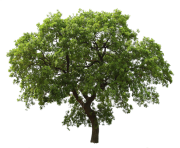 tree png 3498