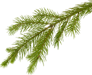 fir tree png transparent 3691